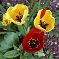 Cultivar red and yellow tulips in Victorian garden Quex House Birchington Kent England 1.jpg