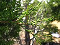 Cupressus forbesii at Coal Canyon-Sierra Peak, Orange County - Flickr - theforestprimeval (8).jpg
