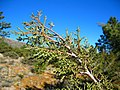 Cupressus stephensonii foliage - Flickr - theforestprimeval.jpg