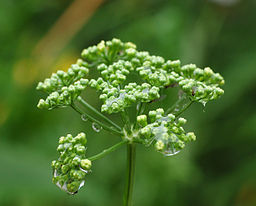 Curly Parsley Petroselinum crispum Young Flowers