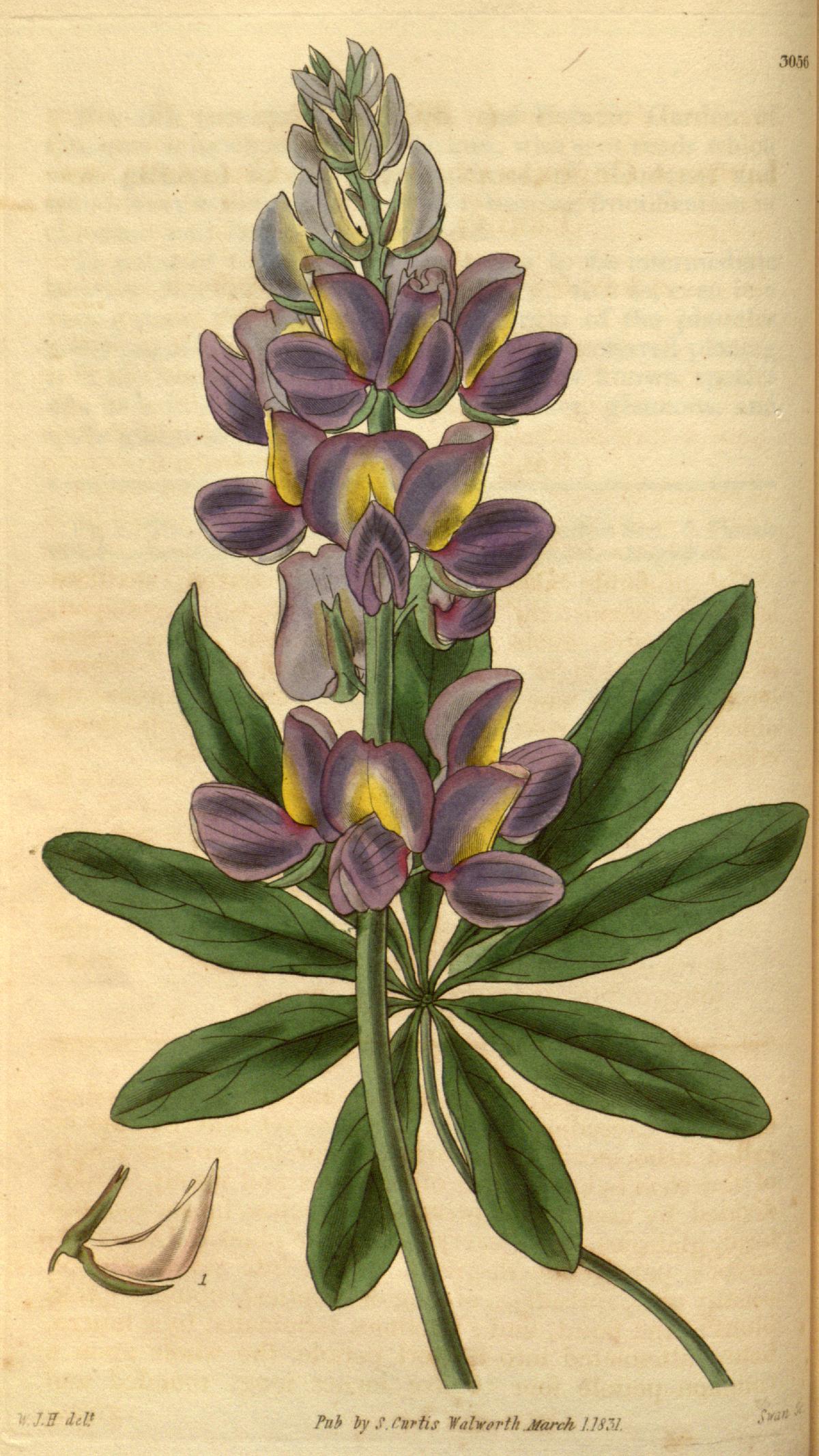 Quinoa  Wikipédia a enciclopédia livre