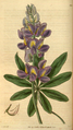 Curtis's Botanical Magazine, Plate 3056 (Volume 58, 1831).png