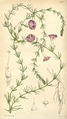 Curtis's Botanical Magazine, Plate 4301 (Volume 73, 1847).png