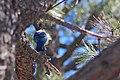 Cyanocitta stelleri, Flagstaff, Arizona 2011-365-89 (5576288070).jpg