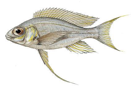 Tangunyika Pearl Killifish : User:Polbot/taxa listing/SpeciesFishes2 - WikiVisually