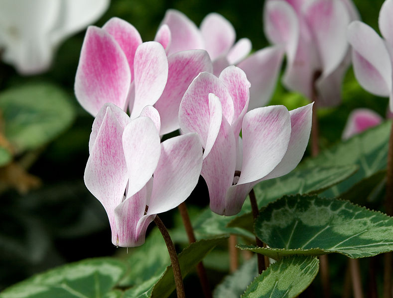 File:Cyclamen 'Stirling'.jpg