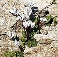 Cyclamen persicum - Persian cyclamen 05.jpg