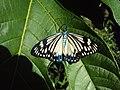 Cyclosia papilionaris - Drury's Jewel - at Peravoor (2).jpg