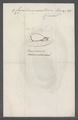 Cymbium nauticum - - Print - Iconographia Zoologica - Special Collections University of Amsterdam - UBAINV0274 087 03 0002.tif