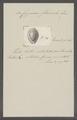 Cypraea flaveola - - Print - Iconographia Zoologica - Special Collections University of Amsterdam - UBAINV0274 088 02 0059.tif