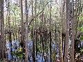 Cypress and Knees, Tomahawk Drive - panoramio.jpg