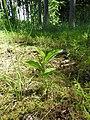 Cypripedium calceolus 111.jpg