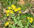 Cytisophyllum sessilifolium in Lozere (2).jpg