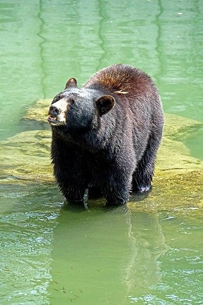 File:DSC09314 - North American Black Bear (36825464400).jpg