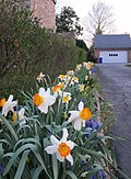 Dafodils on West 2nd Street - panoramio.jpg