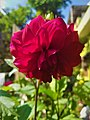 Dahlia Flowers (8).jpg