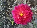 Dahlia pink close up.JPG