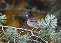 Dark-eyed Junco (Oregon) (44897607544).jpg