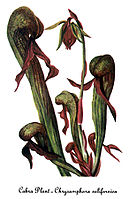 Darlingtonia californica, by Mary Vaux Walcott.jpg