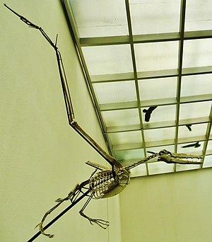 Dasornis - Reconstructed skeleton