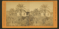 Date palms, St.Augustine, Fla, from Robert N. Dennis collection of stereoscopic views.png