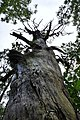 Dead tree - geograph.org.uk - 1395055.jpg