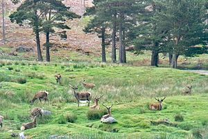 Caledonian Forest - Red deer in Caledonian pinewood