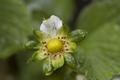 DeflorescensFragaria-20120512i.png