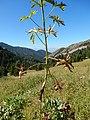 Delphinium occidentale - western larkspur - Flickr - Matt Lavin.jpg