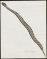Dendrophis colubrina - 1734-1765 - Print - Iconographia Zoologica - Special Collections University of Amsterdam - UBA01 IZ12000145.tif
