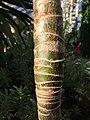 Dendroseris litoralis young trunk leaf scars Kew.jpg
