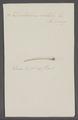 Dentalium entalis - - Print - Iconographia Zoologica - Special Collections University of Amsterdam - UBAINV0274 081 09 0006.tif