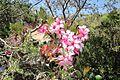 Desert rose (6407190999).jpg