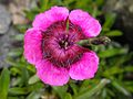 Dianthus alpinus 'Joans Blood' 1.JPG