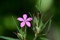 Dianthus armeria (7420302958).jpg