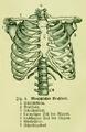 Die Frau als Hausärztin (1911) 004 Menschlicher Brustkorb.png