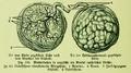 Die Frau als Hausärztin (1911) 180 Mutterkuchen.png