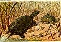 Die Reptilien und Amphibien mitteleuropas (1912) (20321422143).jpg