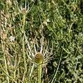 Dipsacus fullonum-Cardère sauvage-Fleur-20150622.jpg