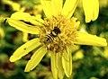 Diptera (2739051969).jpg