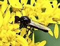 Diptera (2739844506).jpg