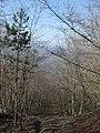 Discesa attraverso il bosco per il Frugnolo - panoramio.jpg