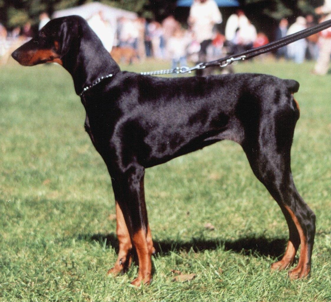 Smartest Dog Breeds Wikipedia