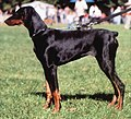 Doberman długouchy light.jpg