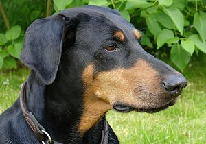 Doberman with natural ears. (Photo credit: Wikipedia)