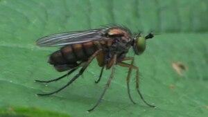 File:Dolichopus ungulatus on Urtica.ogv