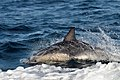 Dolphin (23718010073).jpg