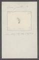 Doris pallens - - Print - Iconographia Zoologica - Special Collections University of Amsterdam - UBAINV0274 080 21 0005.tif