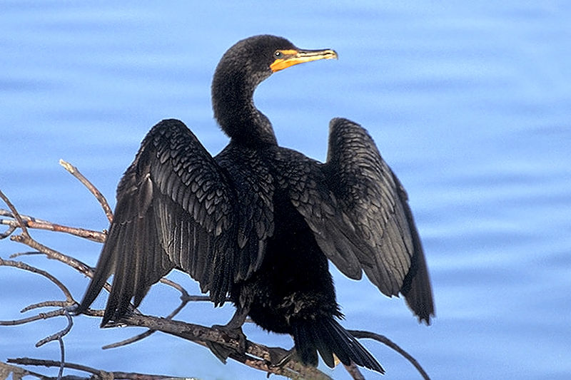 Double-crested Cormorant at Ding Darling NWR.jpg