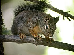 Douglas Squirrel Lake Forest CA.jpg